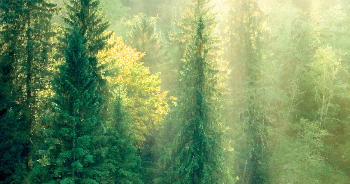 Pinus Oocarpa Pdf